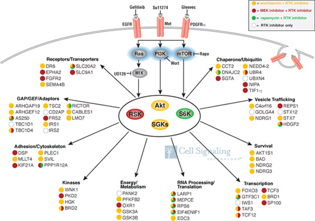 Akt-RSK-S6 Kinase Signaling Pathway